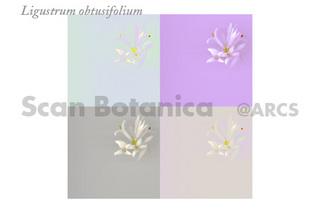 130711_web_L_obtusifolium_Collage_100710_260.jpg