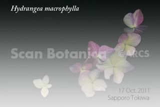 131013_web_H_macrophylla_111017_08_100_450.jpg
