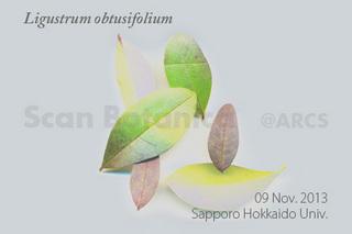131116_web_L_obtusifolium_Leaf_131109_06_02_300_450.jpg