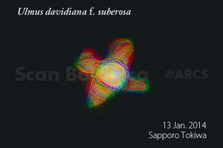 140118_web_U_d_suberosa_SP_140113_02_300_450.jpg