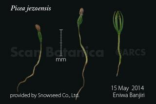 140518_web_P_jezoensis_seedling_140515_40_300_450.jpg