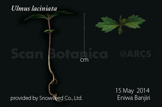 140519_web_U_laciniata_seedling_140515_200_450.jpg