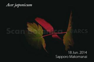 140624_web_A_japonicum_seedling_140618_01_04_300_450.jpg