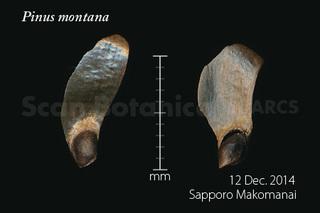 141218_web_Pinus_montana_Seed_141212_40_01_300_450.jpg