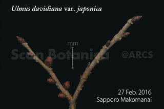 160228_web_U_d_japonica_bud_160227_01_01_300_450.jpg