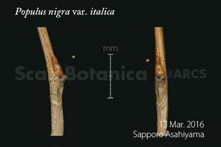 160319_web_P_n_italica_lbud_160313_40_01_300_450.jpg
