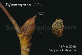 160320_web_P_n_italica_ab_160313_41_01_300_450.jpg