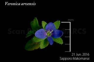 160622_web_V_arvensis_FL_160621_01_01_300_600.jpg