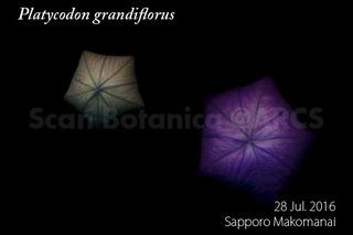 160728_web_P_grandiflorus_B_160728_40_01_300_600.jpg