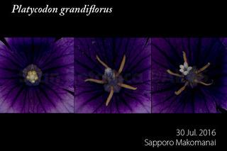 160730_web_P_grandiflorus_g_160730_40_01_300_600.jpg