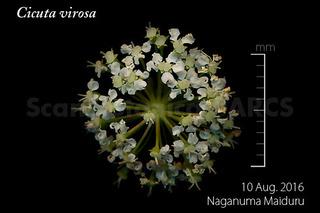 160821_web_C_virosa_FL_160810_02_01_300_600.jpg