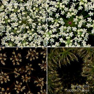 160828_web_D_carota_160828_40_01_300_600.jpg