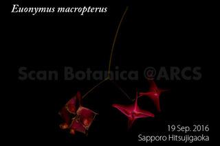 160928_web_E_macropterus_FR_160919_01_01_300_600.jpg