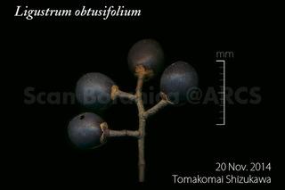 161109_web_L_obtusifolium_FR_141120_01_02_300_600.jpg