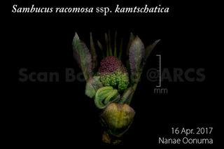 170417_web_S_r_kamtschatica_bud_170416_08_01_300_600.jpg