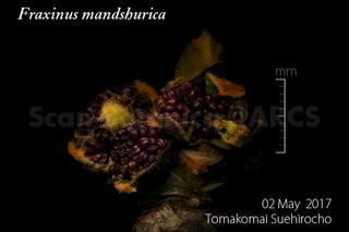 170507_web_F_mandshurica_bud_170506_02_01_300_600.jpg