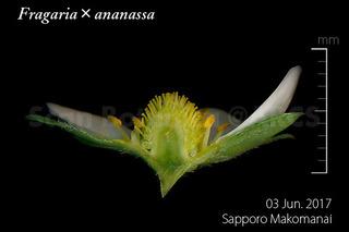 170603_web_F_ananassa_FL_170603_10_02_300_L_600.jpg