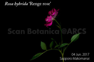 170613_web_R_hybrida_Renge_rose_FL_170604_01_02_300_L_600.jpg