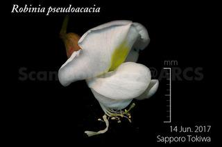 170614_web_R_pseudoacacia_FL_170614_02_01_300_L_P_600.jpg