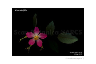 170625_web_R_rubrifolia_FL_170621_01_01_300_L_PC_900.jpg