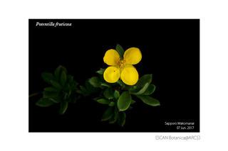 web_180616_P_fruticosa_180607_01_05_300_PC_600.jpg