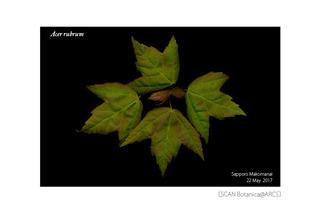 web_180619_A_rubrum_leaf_03_01_01_180522_300_PC_w600.jpg