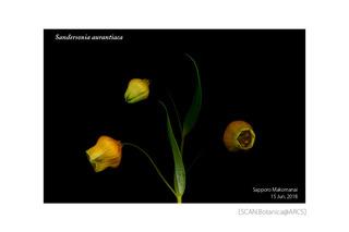web_180621_S_aurantiaca_FL_180615_03_01_300_PC_900.jpg