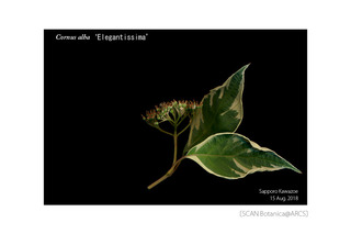 web_180905_C_a_Elegantissima_FR_180815_01_02_300_PC_900.jpg