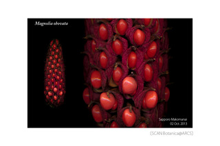 web_181028_M_obovata_seed_131002_40_300_PC_900.jpg