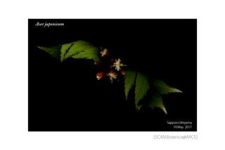web_181031_A_japonicum_FL_170519_01_01_1200_PC_900.jpg