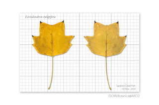 web_181105_L_tulipifera_y_leaf_181102_40_01-01_PC_900.jpg