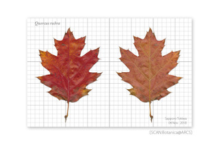 web_181109_Q_rubra_r_leaf_181104_40_01-01_PC_900.jpg