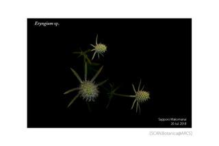 web_181127_Eryngium_180720_01_01_1200_PC_900.jpg
