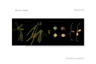 web_190315_Q_crispula-Blume_300_L1200mm_H450mm_A3_250mm_PC_900.jpg