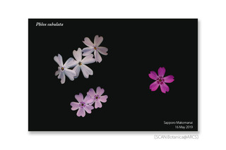 web_190517_P_subulata_FL_190516_01_01_1200_PC_900.jpg