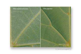web_190623_T_maximowicziana_japonica_leaf_190623_40_02_300_PC_900.jpg