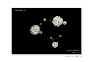 web_190705_Gypsophila_FL_w_190630_03_01_1200_cr02_PC_900.jpg
