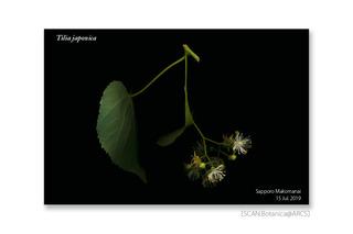 web_190725_T_japonica_FL_190715_06_02_1200_c01_PC_900.jpg