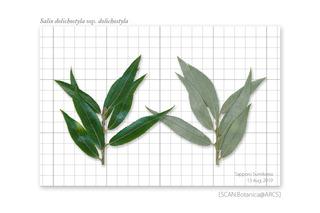 web_190814_S_d_dolichostyla_leaf_190813_40_01-01_PC_900 .jpg