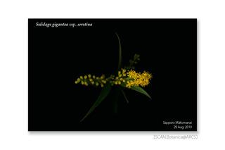 web_190915_S_g_serotina_FL_190829_03_01_1200_cr01_PC_900.jpg