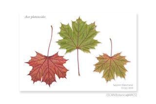 web_191011_A_platanoides_Leaf_191010_40_02_CL_PC_900.jpg