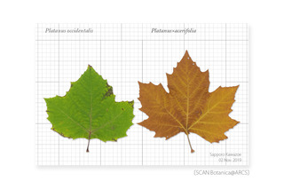 web_191103_P_occidentalis_acerifolia_Leaf_191102_03_01-01_PC_900.jpg
