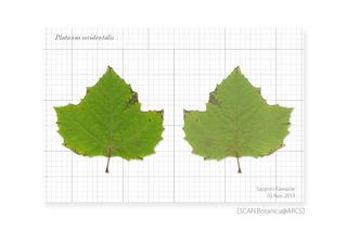 web_191105_P_occidentalis_Leaf_191102_03_00-01_PC_900.jpg