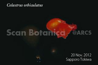 web_C_orbiculatus_FR_121121_04_450.jpg