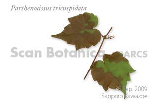 web_P_tricuspidata_dl_090926_450.jpg